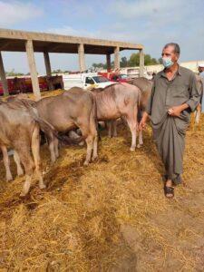 عودة الحياة لسوق الماشية في بيلا مؤقتًا وسط إجراءات احترازية مشددة